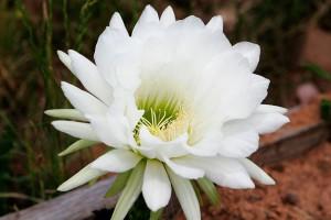 cactus-grandiflorus